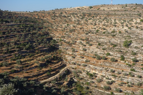 Olive groves north of Ramallah